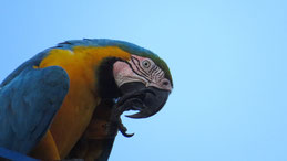 Blue-and-yellow Macaw, Gelbbrustara, Ara ararauna, Puerto Narino