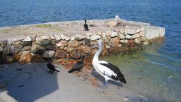 Little black cormorant, Schwarzscharbe, Phalacrocorax sulcirostris, Australian Pelican