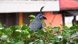 White-throated magpie jay, Langschwanzhäher, Calocitta formosa, San Juan del Sur
