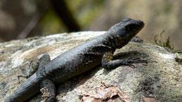 Amazon lava lizard, Kielschwanz-Halsbandleguan, Tropidurus torquatus
