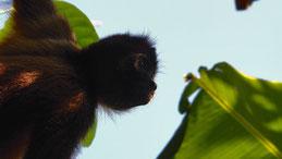 Geoffroy´s spider monkey, Geoffroy Klammeraffe, Ateles geoffroyi