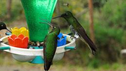 Hummingbirds, Minca, Colombia
