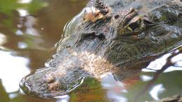 Spectacled caiman, Krokodilkaiman, Caiman crocodilus