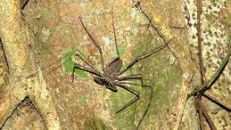 Whip Spider, Geißelspinne, Amblypygi, Manu National park