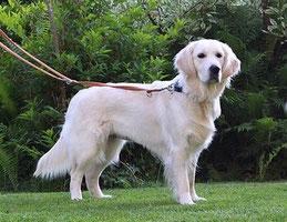 chien golden blanc en exposition canine par coach canin 16 educateur canin Jarnac Cognac angoulême