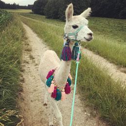 Django Wallach brav toll Tier Alpaka Alpakas Alpakawanderung Vlies Wolle Scheren flauschig Kulleraugen