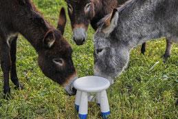 Présentation d'âne Bourbonnais et âne commun
