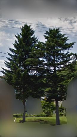 トドマツとアカエゾマツの木