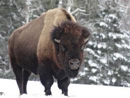 Bison im verschneiten Naturpark