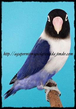 personatus D Blue Violet Df y Sf, personata azul d violeta Sf y Df