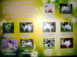 японский хин в Украине, купить щенка  японского хина, Japanese chin puppies, ВКП ЯХ японский хин