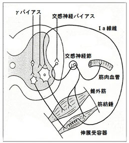 筋紡錘と交感神経