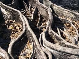 Les racines du banian étaient censées faire transiter les âmes des défunts inhumés sous l'arbre