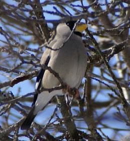 綾部市の鳥「イカル」