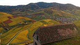 Weinreben, herbstliches Durbach, Weinbau