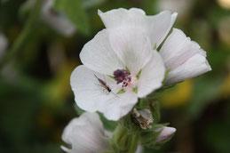 Guimauve fleur, douceur pour la peau et pour la gorge