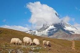 Ungeschützte Schafe in den Alpen.