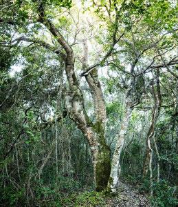 アフリカンツリー喜びの木 ホワイトペア