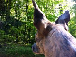 Hunde, die nicht gelernt haben, Wild nur zu beobachten, bleiben an der Leine!