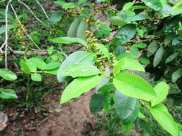 Kokapflanze im Amazonasurwald