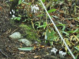 写真1.尾根筋のギンリョウソウ