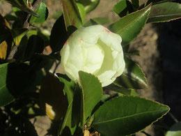 姑の庭に咲く「くちなしの花」。たぶん。