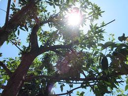 強剪定をすると、逆に成長を促し、樹形を損なう恐れがあると書かれていた。この位でやめて様子をみることに。木漏れ日が爽やか。