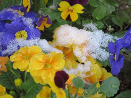 鉢植えの花にも雪 12・6