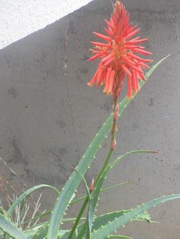 姑の家の庭に咲くアロエの花