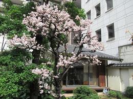 季節はめぐり、梅の花は満開。「外史を読む会」が開かれている和室が見える。