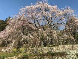 広島県指定天然記念物 神原のシダレザクラ(広島市佐伯区石内)