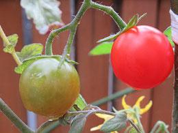 68円の苗から育ったミニトマト
