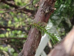 新しい葉。枝に成長してほしい。