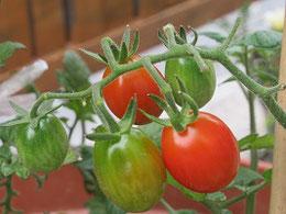 楕円形のミニトマトも色づきはじめ。