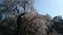 写真はいずれも、令和2年4月4日の艶姿。
