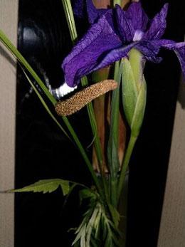 黄色の本菖蒲と紫の花しょうぶ