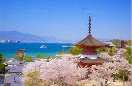 宮島の桜(ネットより)