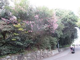 比治山に咲く山茶花