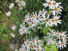 頼山陽文徳殿の前に咲く花