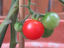 丸い実のミニトマト