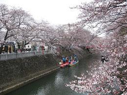 桜満開の船町湊、4月5日撮影