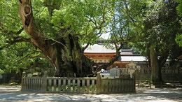 夏至の樹齢2600年大楠。元気そう