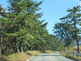 わずかに残る松並木