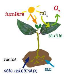 Schéma de la photosynthèse chez une plante. Source: palneteverte.