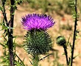 トゲトゲしいアメリカオニアザミの花(フリー百科事典『ウィキペディア(Wikipedia)』)