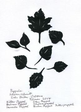 Silberpappel,  Populus alba,  Balsam Pappel  Populus balsamifera Kanada Pappel  Populu canadensis Grau Pappel      Populus canescens Schwarzpappel  Populus nigra Balm Pappel     Populus candicans Zitt