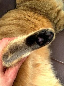 Katze, golden tabby, 7 Monate alt, kleiner schwarzer Sohlenfleck, schwarze Haare zwischen den Zehballen