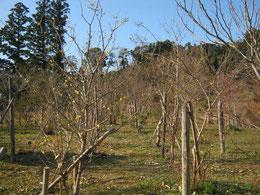 樹木葬地のろうばいが見頃です。第二樹木葬地
