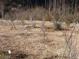新しい苗木を植えました。第三樹木葬地