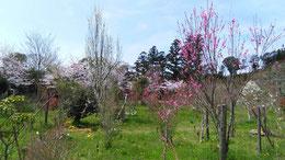 桜と花々が競うように咲いています。第二樹木葬地